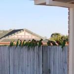 Rainbow lorikeet flock on a suburban fence
