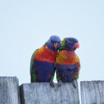 Two rainbow lorikeets posing on a fence
